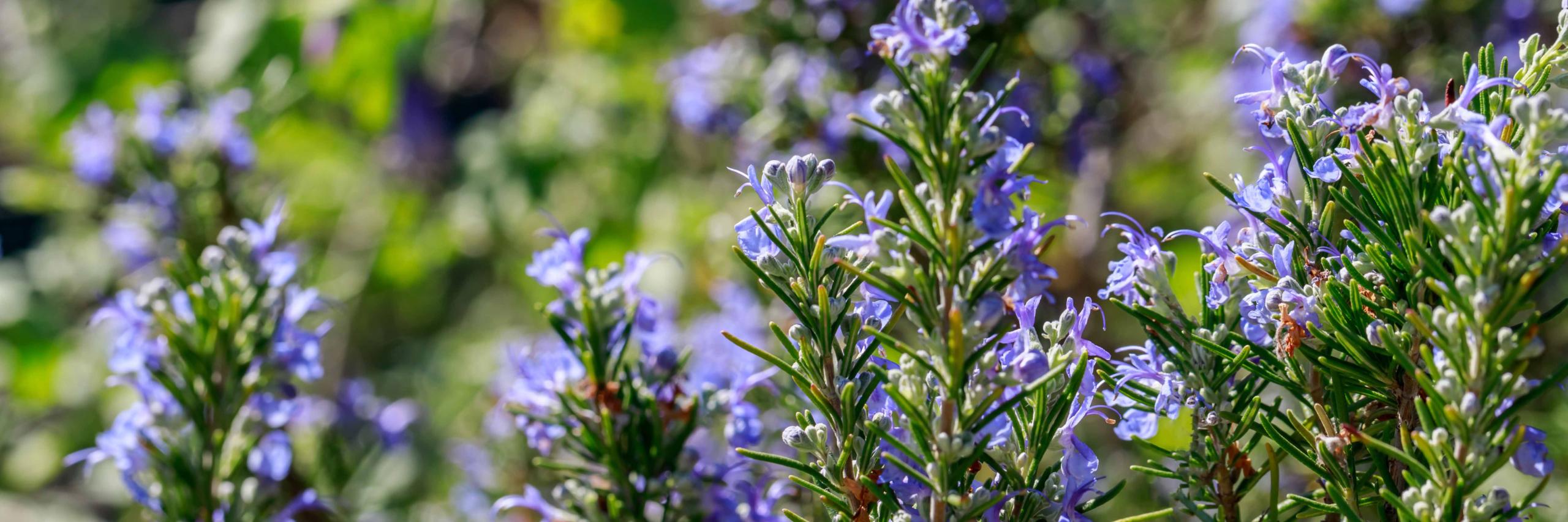 planter du romarin pour les abeilles