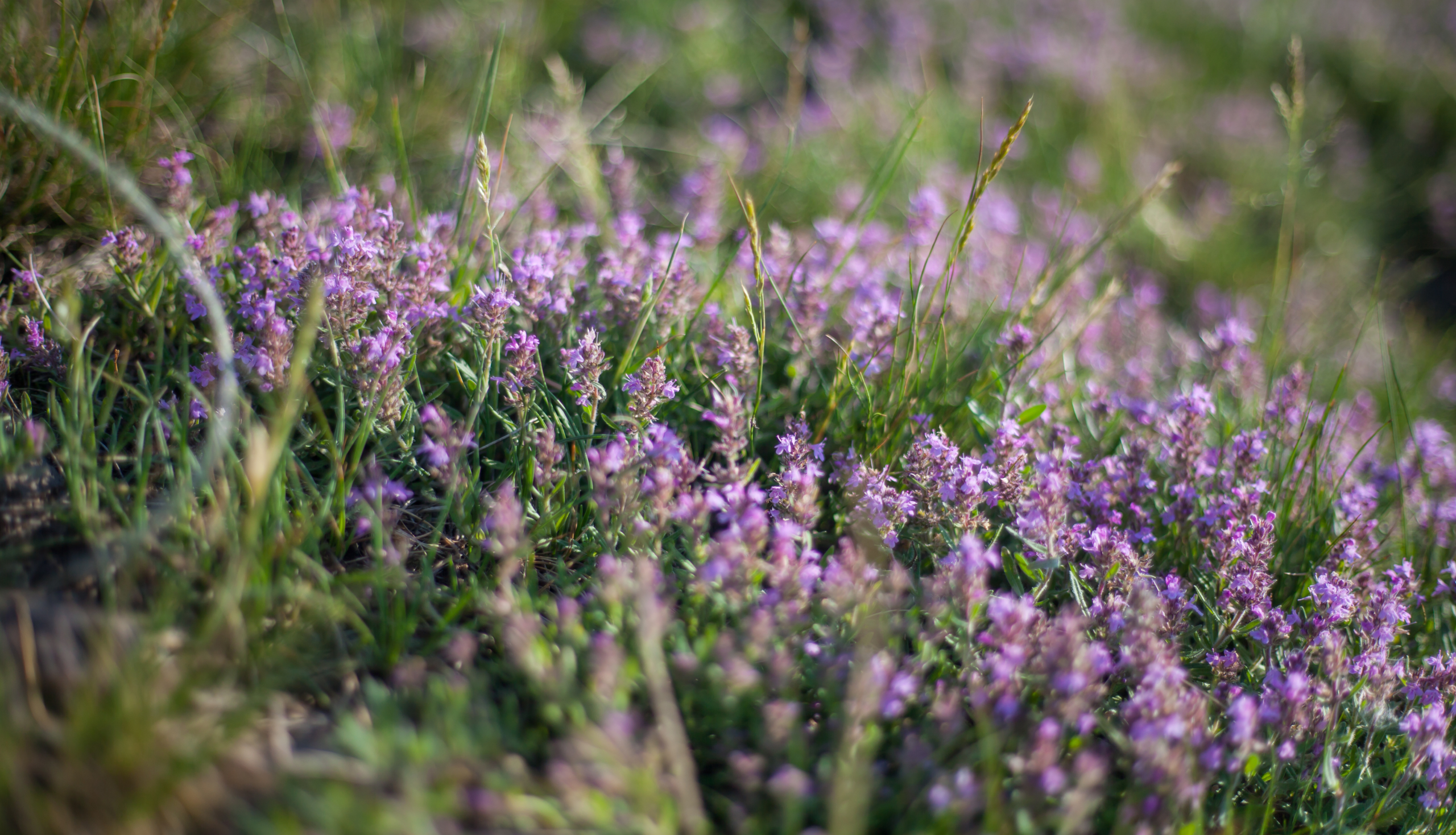 planter du thym pour les abeilles et pollinisateurs