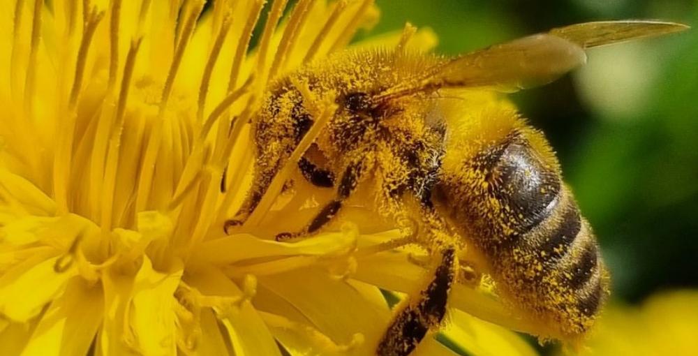 abeille-pollen-fleur-jaune