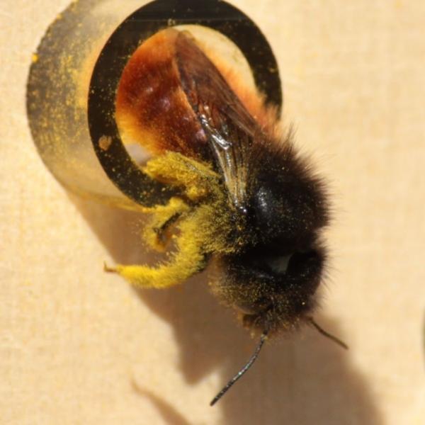 abeille-sauvage-dorlotoir