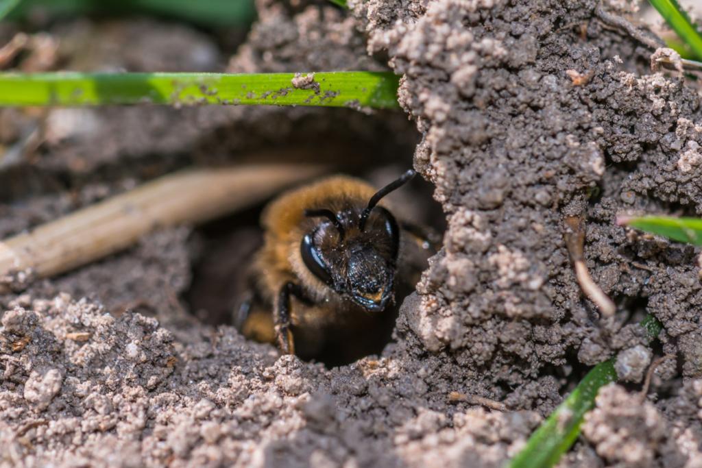 abeille des sables dans son nid