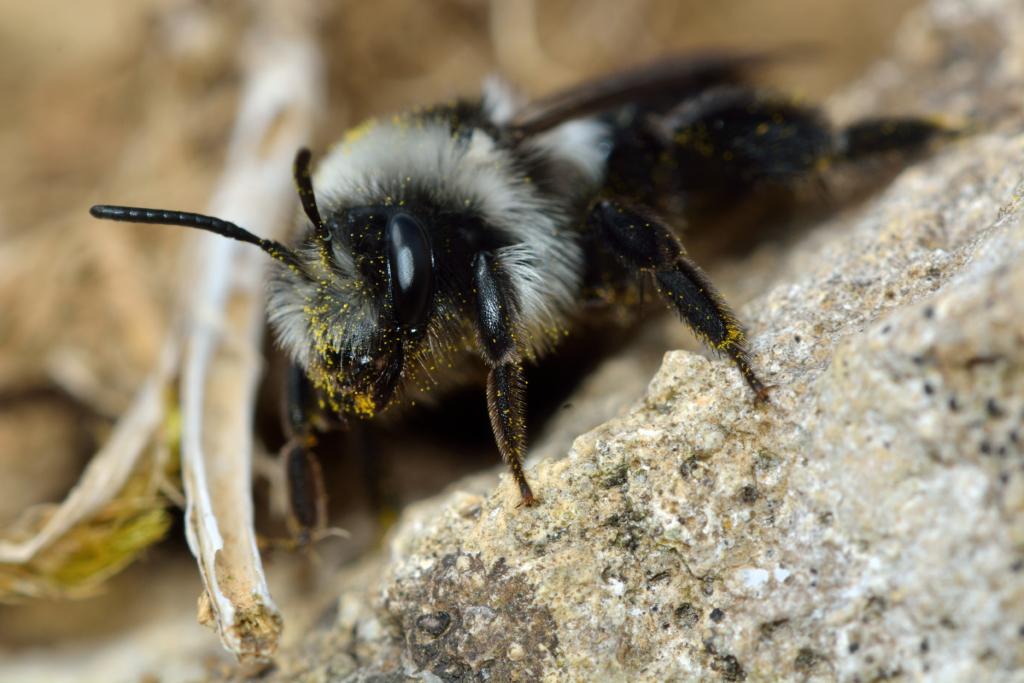 abeille des sables Andrena Cineraria avec des grains de pollen sur les poils