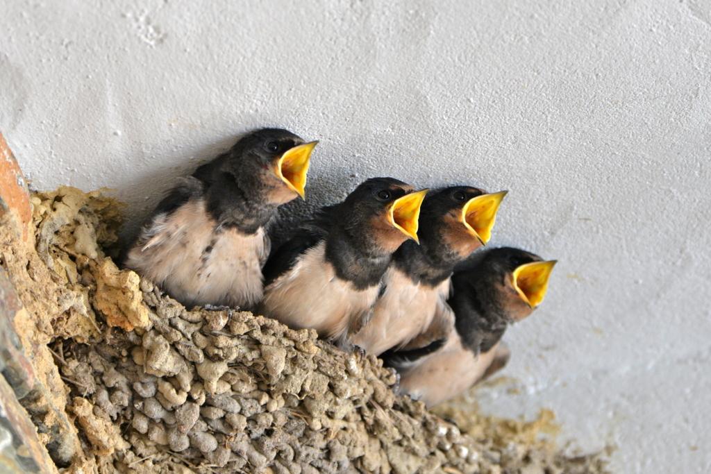 aider animaux jardin - jeunes hirondelles dans leur nid